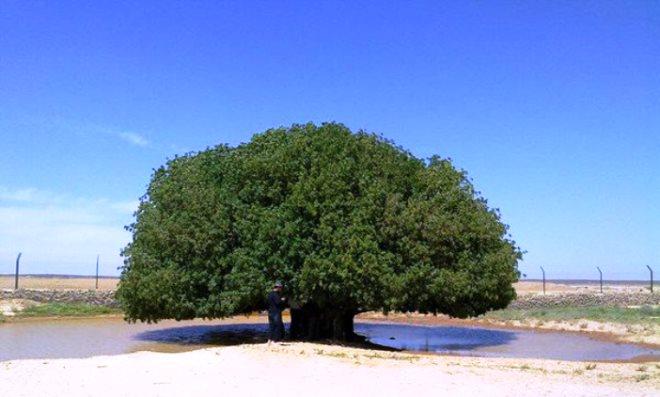 تعرف على الشجرة الوحيدة التي استظل بها الرسول ﷺ في صحراء الأردن