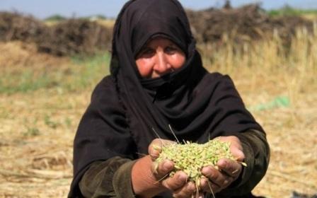 طقوس احتفالية مع بدء موسم حصاد الشعير والفريكة حاضرة في الحقول