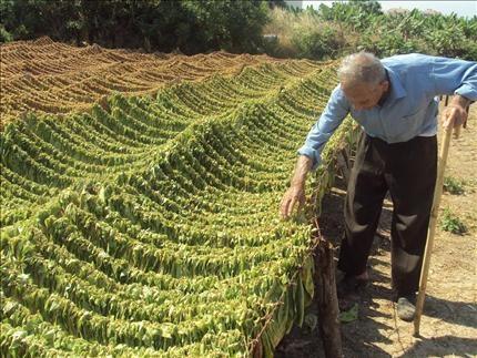 جنين: وزير الزراعة يدعو لتنظيم زراعة التبغ في يعبد