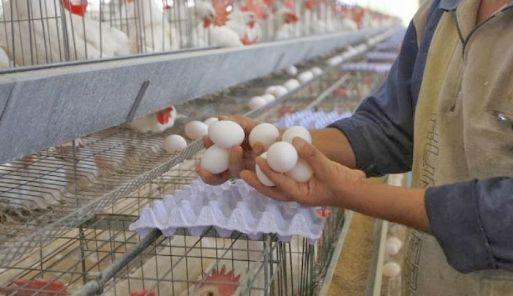 زراعة نابلس تعدم دجاجا بياضا في بلدة زيتا جماعين