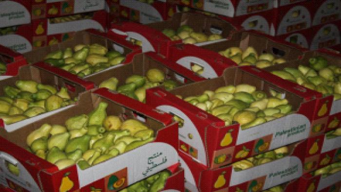 بدء تصدير الجوافة الفلسطينية الى الاردن