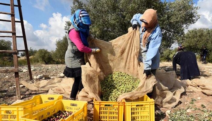 زيت الزيتون يثير أزمة بين تونس والاتحاد الأوروبي