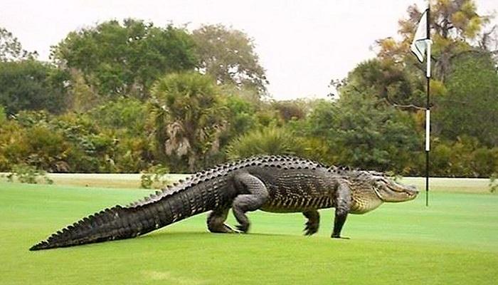 تمساح عملاق يقتحم ملعب غولف في فلوريدا الأمريكية (فيديو)