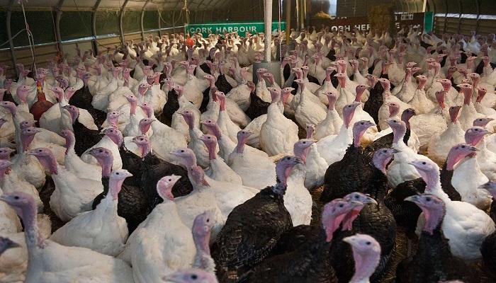 بريطانيا: سيتم إعدام 10500 طائر  للحد من انتشار المرض