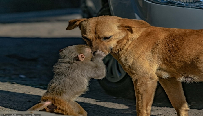 لقطات مؤثرة لعناق حميمي بين كلبة وقرد صغير يتيم