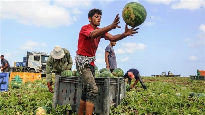 غزة تحقق الاكتفاء الذاتي من البطيخ