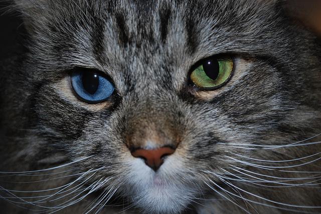 اسباب تغير لون عيون القطط ؟ %D9%82%D8%B7%D8%A9
